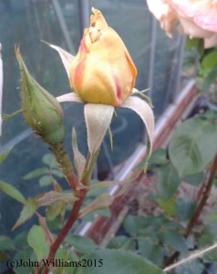 757 rose bud inc. copyright